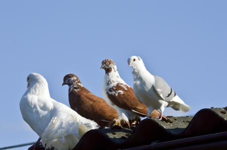 Post pigeons on the roof