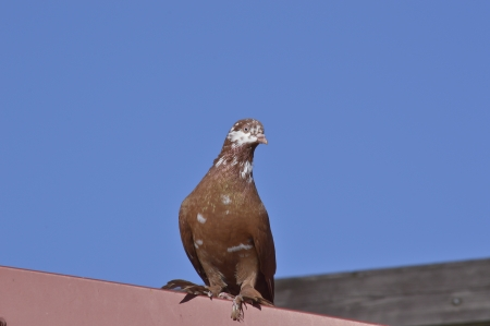 Post a dove on the Roof Stock Photo