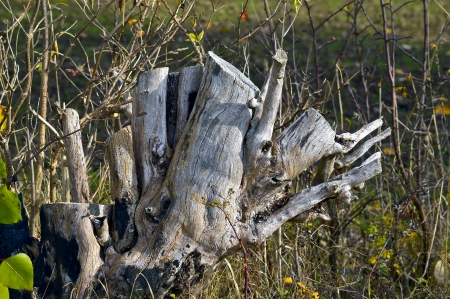 The cut tree trunk