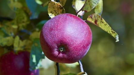 Autumn apples on a tree