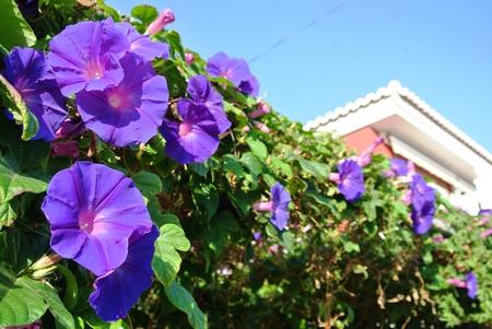 petunias: Purple petunias