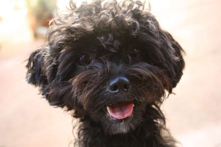 Black shih-poo puppy portrait photo