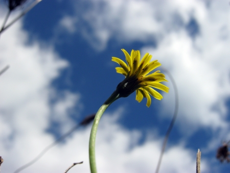 yellow dandelion closeup photo