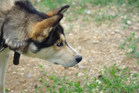 husky dog on grass photo