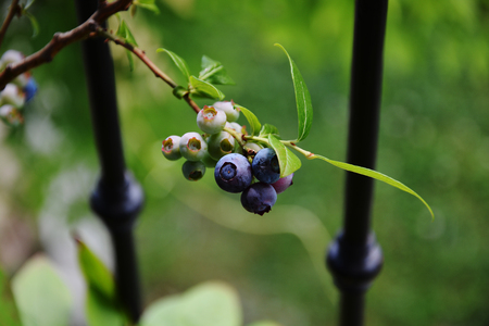 plant antioxidants: blueberries grown on the balcony Stock Photo