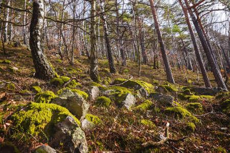 mala fatra: Moss on the Rocks in Birch Forest, Mala Fatra, Slovakia