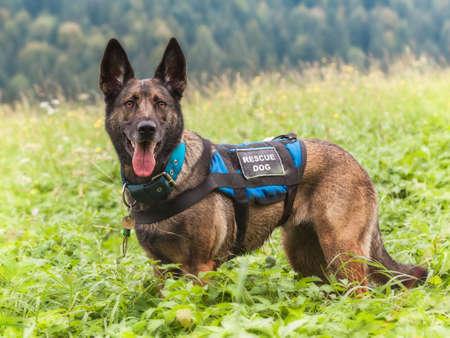 rescuer: Rescue Dog on the Meadow, Mala Fatra, Slovakia Stock Photo