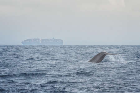 ballena azul: Blue Whale with Cargo Ship in the Background near Mirrisa, Sri Lanka