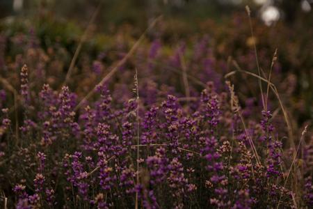 Purple heather in bloom macro shot