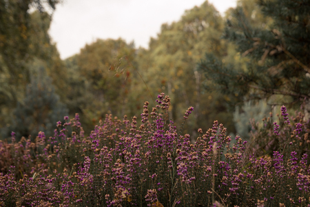 Purple heather in bloom with trees in background.