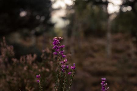Purple heather in bloom Фото со стока