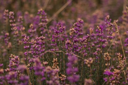 Purple heather in the wild of Scotland united kingdom