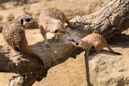 suricata suricatta: Adult Meerkats Suricata suricatta with baby