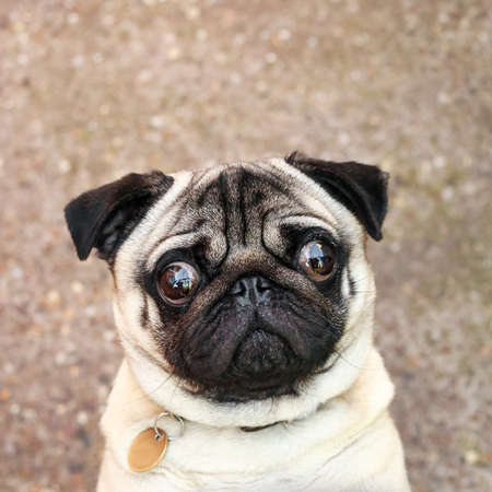 interested: Pug with an interested look