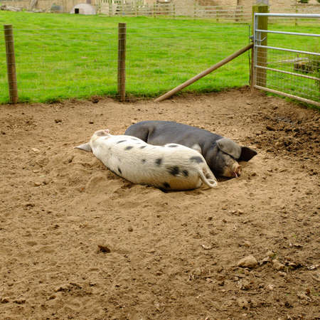 pigpen: Pair of pigs sleeping in a pig pen