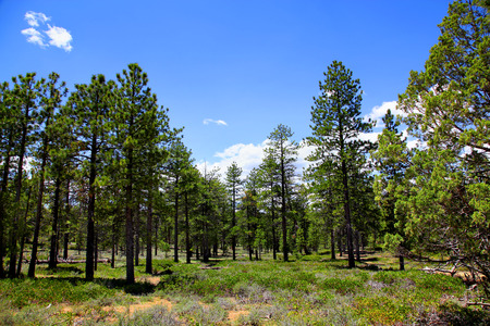 Ponderosa pine forest in Bryce Canyon National Park 版權商用圖片