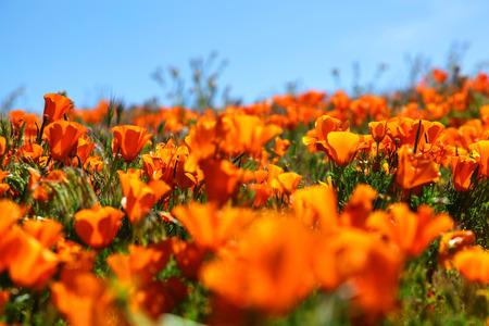 Orange California Poppies during Spring Super Bloom