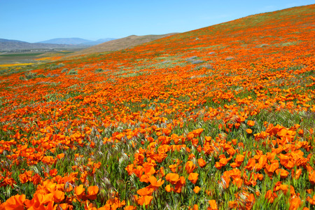 Field of orange California poppies during springtime