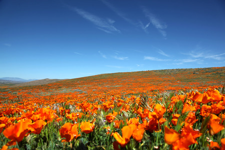 Field of bright orange California poppies during spring superbloom