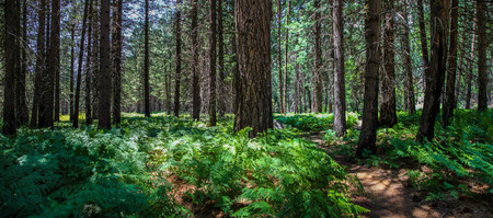 Hiking trail through lush pine forest in Kings Canyon National Park California