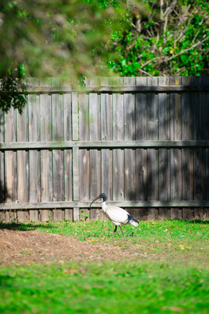Australian bird looking for food at the back yard around Brisbane, Australia. Australia is a continent located in the south part of the earth.