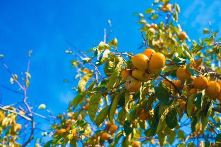Japanese persimmon in Toyama, Japan. Toyama is a city of Japan located in the Hokuriku district. Stock fotó