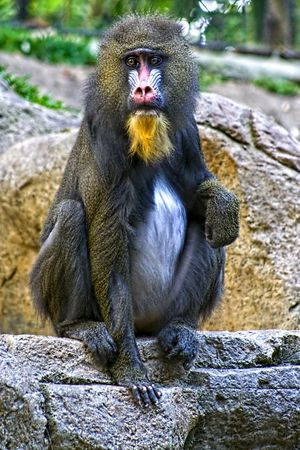 Baboon sitting on rock at zoo.