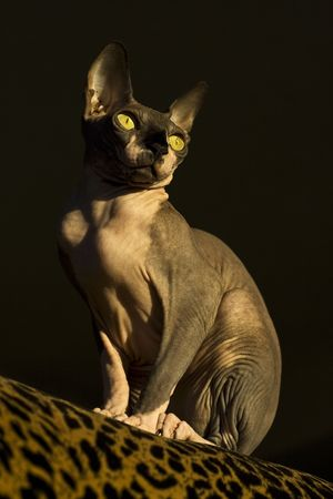 Hairless cat sitting on couch in the morning sun 版權商用圖片
