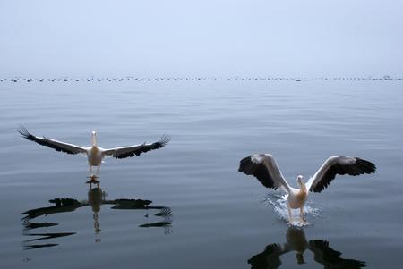 pelicans landing photo