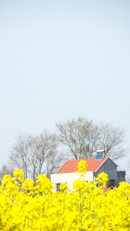 Canola flower with house under the sky photo