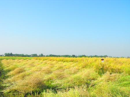 aureate: Lanscape of farmer harvesting at Hubei province Editorial