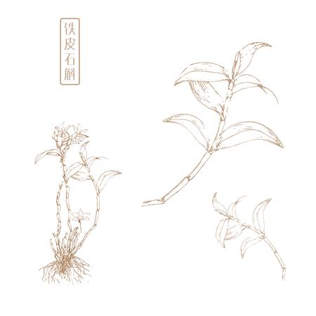 traditional chinese medicine: Dendrobium