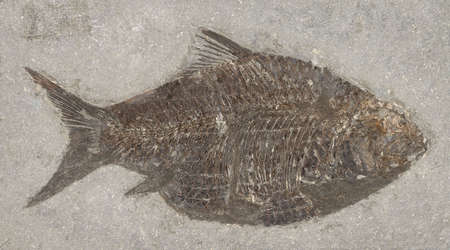 petrified fossil: Chinese Fossil Fish