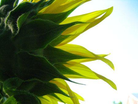 sillhouette: sunflower sillhouette