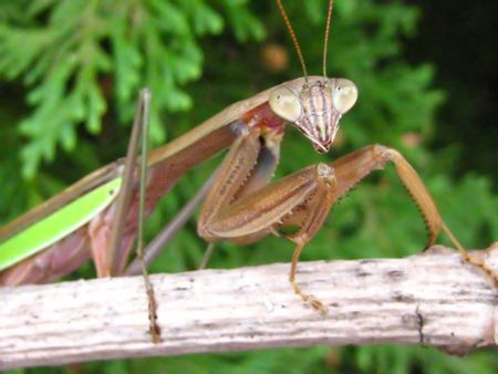 mantid: mantis 2 Stock Photo