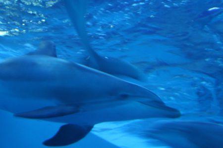 cetacea: Dolphin
