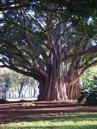 banyan tree: A banyan tree in a park in Hawaii. Stock Photo