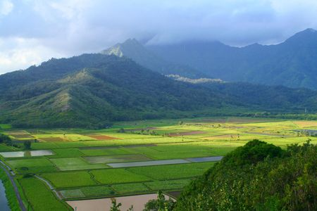 An aerial of rice and taro fields.