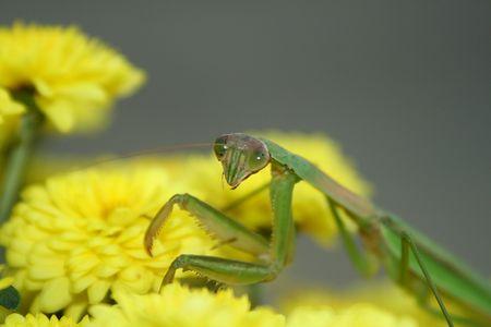 cannibal: A praying mantis on a pot of yellow mums.