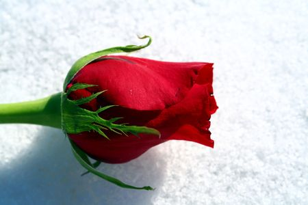 A red rose on a bed of pure white snow. Stock Photo