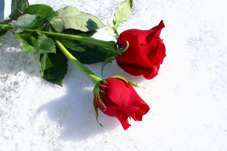 A pair of red roses on a bed of pure white snow.
