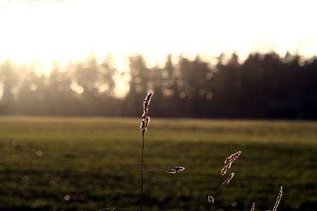 Photo of mature grass with forest and setting sun out of focus. 版權商用圖片