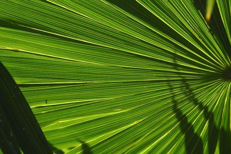 A palm tree fan fanning out in a radiant pattern photo