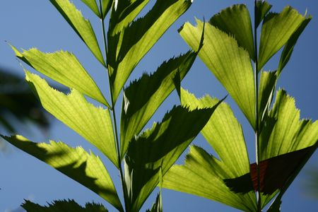 A detail of sunlight passing through leaves on a clear blue sky background. 版權商用圖片