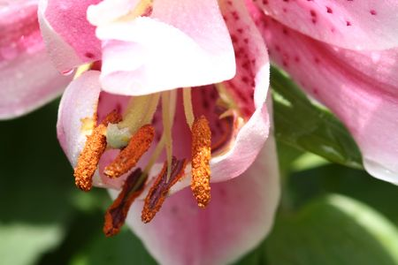 A macro of a pink lilly with dew and a focus on its pollen.