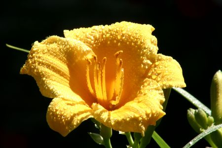 A yellow flower covered in dew under sunlight with a black background.