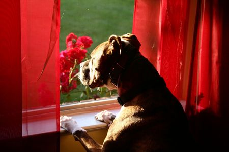 guard house: A dog looks outside through a window with red curtains and sunlight flowing in.
