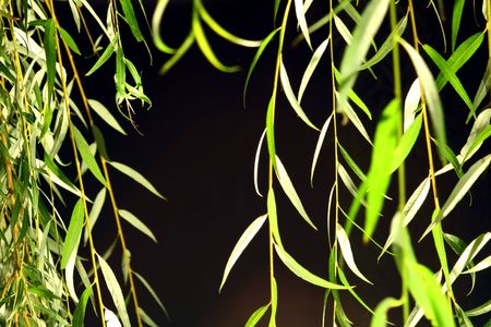 Weeping willow leaves dangling close to the camera at night with light shinning from below. photo