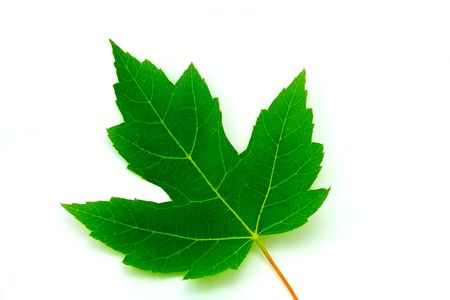 A leaf on a white background shot in HDR. Stock Photo