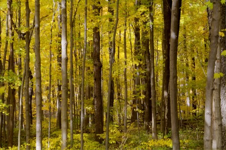 Forest full of yellow autumn colored leaves and vertical tree trunks. Stock Photo - 7883285